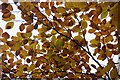 NO2637 : Autumnal beech leaves, Ledcrieff Wood by Mike Pennington
