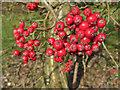 SE7169 : An abundance of Rowan berries by Pauline E