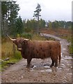 NH2200 : Highland cow, in Glen Garry forest by Craig Wallace