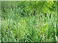 SJ4034 : Bulrushes at Oteley by nick macneill