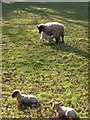 SX8078 : Ewe and lambs, Parke by Derek Harper