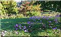 TF6928 : Autumn Crocus, Sandringham House, Sandringham, Norfolk by Christine Matthews