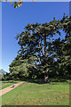 TF6928 : Cedar of Lebanon, Sandringham House, Sandringham, Norfolk by Christine Matthews