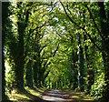 SU6075 : Lime avenue leading to Heron's Farm, near Upper Basildon, Berkshire by Edmund Shaw