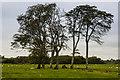 SH5270 : Trees alongside Brynsiencyn Road by Ian Capper