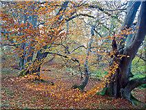 NH5857 : Beech in Drummondreach Wood by Julian Paren