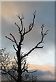 NT5634 : A dying ash tree by Walter Baxter