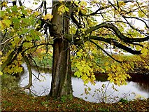 H4572 : A tree shedding leaves, Omagh by Kenneth  Allen