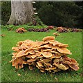 SP8658 : Spectacular fungi around dead beech tree, Castle Ashby Gardens by Robin Stott