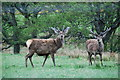 NH2954 : Red Deer stags by jeff collins