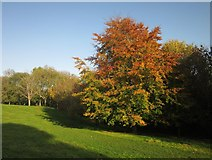 SX9265 : Beech, St Marychurch Downs by Derek Harper