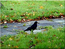 H4573 : Crow, Omagh by Kenneth  Allen