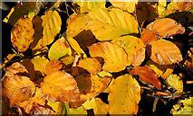 J3875 : Autumn beech leaves, Belfast by Albert Bridge