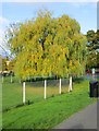 SO8071 : Willow tree at Riverside Meadows, Stourport-on-Severn by P L Chadwick