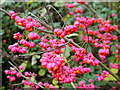 SO3731 : Fruit of The Spindle Tree, Euonymus europaeus by Jonathan Billinger
