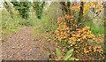 J3976 : Autumn leaves, Redburn, Holywood by Albert Bridge