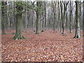 SU1365 : Beech trees, West Woods by Vieve Forward