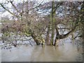 SP2965 : Alder under water, River Avon in spate by Robin Stott