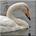 NY0565 : A whooper swan at Caerlaverock Wetland Centre by Walter Baxter