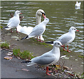 SK5803 : Black-headed gulls by Mat Fascione