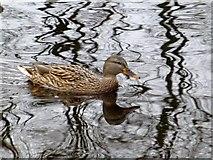 H4572 : Wild ducks, Omagh (5) by Kenneth  Allen