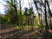 SU8113 : Scene in Wildhams Wood by Shazz
