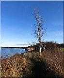 NT6378 : East Lothian dead tree: Coast path, Hedderwick by Richard Webb