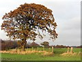 NZ1768 : Oak tree and field gate near Andrew Plantation by Andrew Curtis