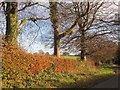 SY3598 : Trees by the lane to Wootton Fitzpaine by Derek Harper