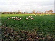 NZ1769 : Pasture south of Black Callerton by Andrew Curtis