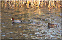 SE7170 : Wigeon pair, Great Lake by Pauline E