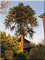 TQ8833 : Monkey Puzzle tree on Ashford Road, Tenterden by Julian P Guffogg