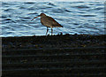 NS2477 : A curlew at Cove Road by Thomas Nugent