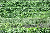 NZ2563 : Terracing, The Sage by Richard Webb