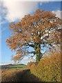 SX7866 : Oak below Torcorn Hill by Derek Harper
