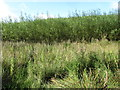 H6208 : Willows grown for biomass and biofuels at Dernakesh by Eric Jones