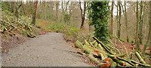 J4681 : Cut trees, Crawfordsburn Country Park by Albert Bridge
