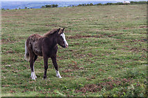 SO1544 : Welsh Pony Foal near the Begwyns Roundabout by Christine Matthews