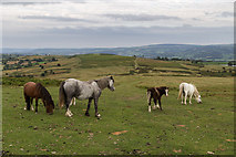 SO1544 : Welsh Ponies near the Begwyns Roundabout by Christine Matthews