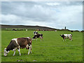 SW6950 : Dairy cattle near St. Agnes by Robin Webster