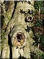 SP9513 : Gnarled tree bole, Aldbury Nowers by Rob Farrow