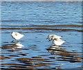 TA3108 : Sanderlings on Cleethorpes beach by Steve  Fareham