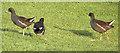 NH8152 : Moorhens (Gallinula chloropis) by Anne Burgess