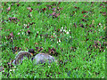 TQ1774 : Squirrel among the snowdrops by Stephen Craven