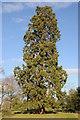 SO8631 : Wellingtonia tree by Philip Halling