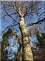 ST5578 : Beech, Blaise Castle Estate by Derek Harper