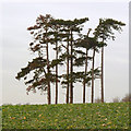 SK6228 : Stand of pines, Widmerpool by Alan Murray-Rust