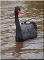 SX9676 : Black swan, Dawlish by Derek Harper