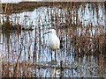 NZ5023 : Little Egret at RSPB Saltholme by Oliver Dixon