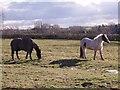SK4424 : Horses grazing in a ridge and furrow field by Ian Calderwood